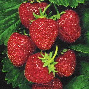 Strawberry_sweet_temptation